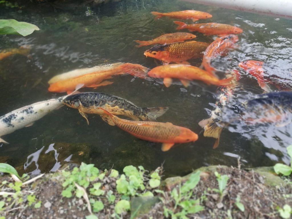 A koi pond in Mindo