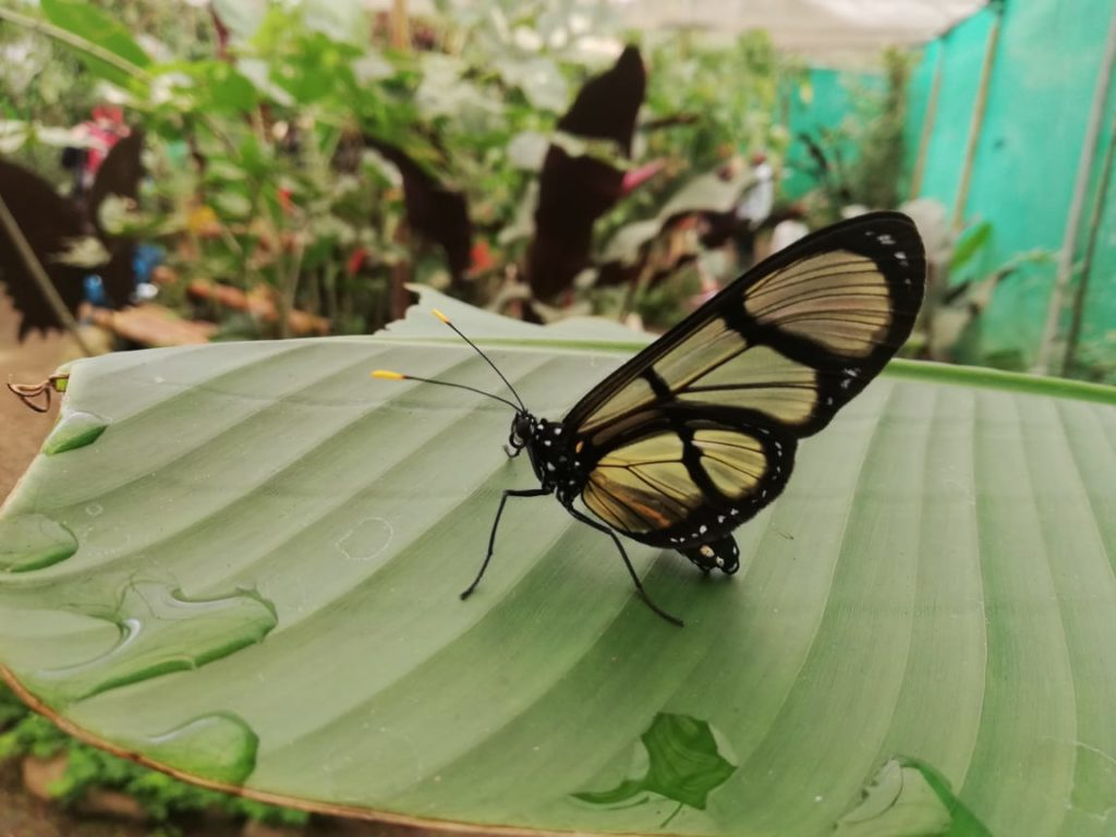 Beautiful Butterfly in Mindo