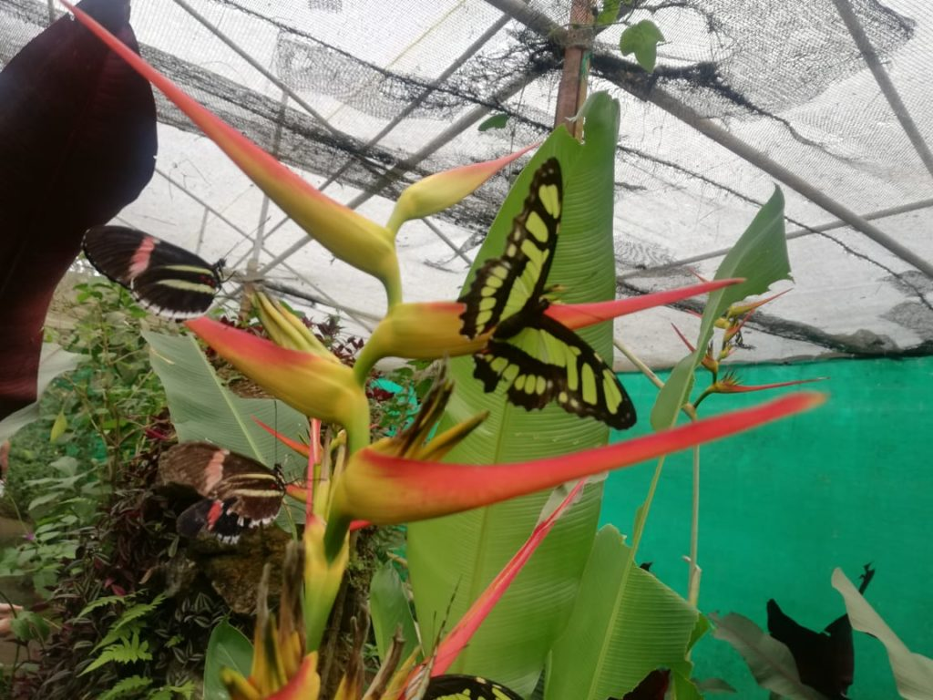 Butterflies in the Mindo Cloud Forest